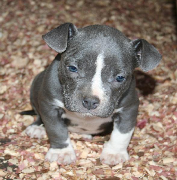 pitbull puppy pictures picutres of pitbull puppies pitbull puppy