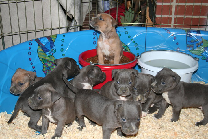 Pitbull Puppies Image by Don Guerrieri of HardRockBullys
