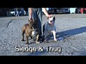 Pitbull Sledge and Ultimate Blues Thug